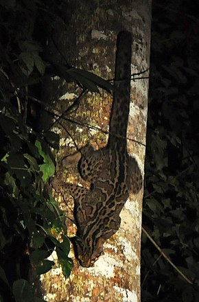 Marbled cat borneo.jpg