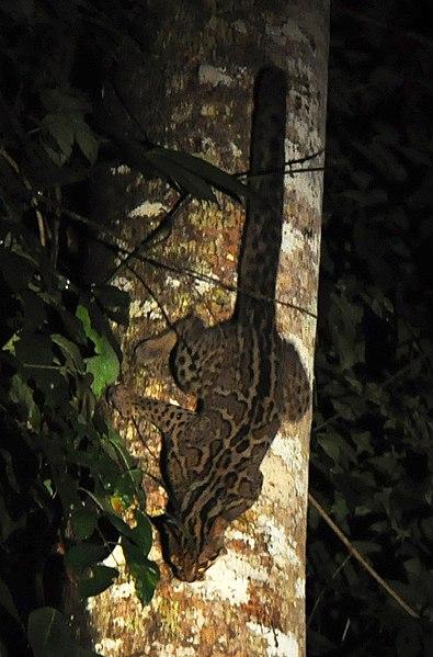 http://upload.wikimedia.org/wikipedia/commons/thumb/3/3f/Marbled_cat_borneo.jpg/395px-Marbled_cat_borneo.jpg