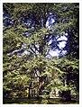 March Spring Atlas Ceder 80 Mtr Botanischer Garten Freiburg - Master Botany Photography 2013 - panoramio.jpg