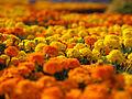Marigolds, マリーゴールド, (9369028937).jpg