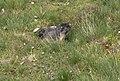 Marmotta in riposo.jpg