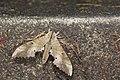 Marumba sperchius sperchius (35229615114).jpg