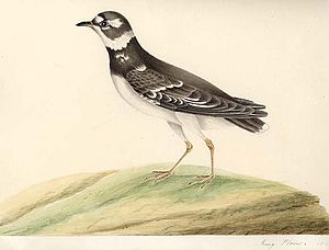 Mary Battersby - Painting of a Ringed Plover by Mary Battersby