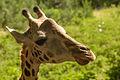 Masai giraffa at haller park mombasa.jpg