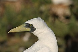 Masked booby1.JPG