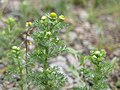 Matricaria discoidea stem (08).jpg