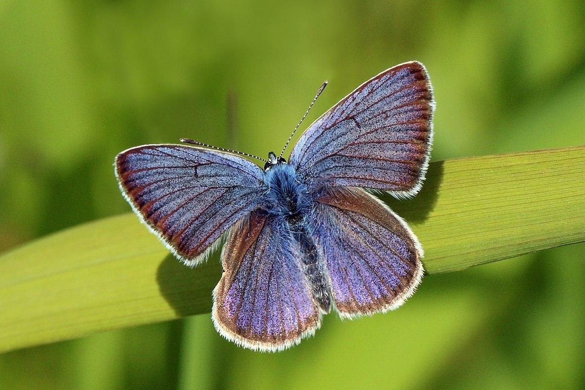 polyommatus semiargus wikipedia
