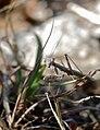 Mediterranean Ground Mantis (Ameles decolor) (34992705343).jpg