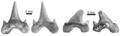 Megalolamna paradoxodon teeth.png