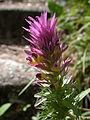 Melampyrum arvense flowers1.JPG