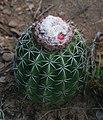 Melocactus curvispinus 3.jpg