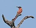 Merops nubicoides, Khwai, Botswana 2.jpg