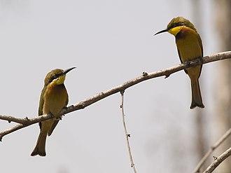 Little bee-eater - Image: Merops pusillus Little Bee eater two on branch
