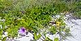 Miami Beach - South Beach Sand Dune Flora - Ipomoea pes-caprae (26).jpg