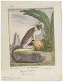 Midas oedipus - 1700-1880 - Print - Iconographia Zoologica - Special Collections University of Amsterdam - UBA01 IZ20200043.tif