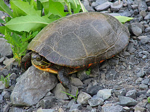 Testudinoidea - Midland painted turtle (Chrysemys picta marginata) a species of the family Emydidae in the Testudinoidea superfamily
