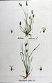 Milium scabrum — Flora Batava — Volume v11.jpg