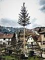 Mitzach. Un arbre de mai.jpg
