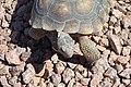 Mojave Desert Tortoise (6079254281).jpg