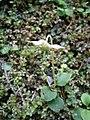 Moneses uniflora RHu 01.JPG