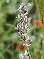 Moorlilie ausgesamt–20190902.jpg
