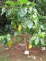 Morinda citrifolia in Lyon Arboretum.jpg