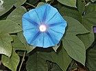 Morning-glory-flower.jpg