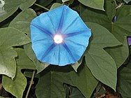 Morning-glory-flower.jpg