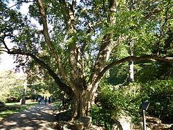 Morris Arboretum Acer buergerianum.JPG