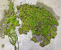 Moss in Bucharest.jpg