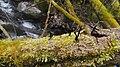 Moss on a fallen tree 3.JPG