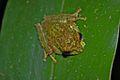 Mossy Tree Frog (Rhacophorus everetti)2.jpg