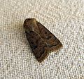 Mottled Rustic . Caradrina morpheus - Flickr - gailhampshire.jpg