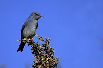 Mountain bluebird - This species also can be a powder blue or with a gray chest.