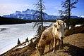 Mountain Sheep at Two Jack Lake Banff.jpg