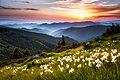 Mountain daffodils.jpg