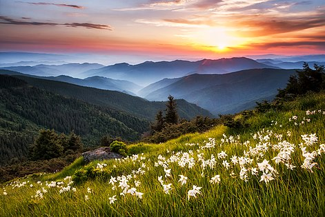 Mountain daffodils.jpg