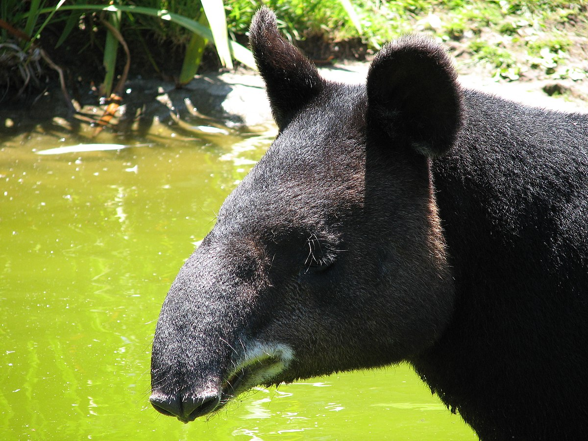 Горный тапир