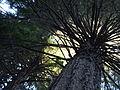 Muir Woods National Monument 07 Coast Redwood (Sequoia sempervirens).jpg