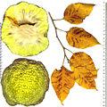Multiple fruit of Maclura.jpg