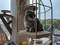 Munchkin Scottish fold cat perching at cat cafe in Shibuya.jpg