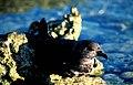 Murphy's Petrel on a Rock, Ducie Island.jpg
