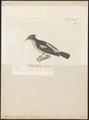Muscicapa narcissina - 1700-1880 - Print - Iconographia Zoologica - Special Collections University of Amsterdam - UBA01 IZ16500145.tif