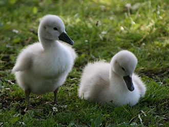 The Ugly Duckling - A pair of young swans (or cygnets)
