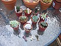 My haul from the Birmingham Branch Cactus Show (5747621676).jpg