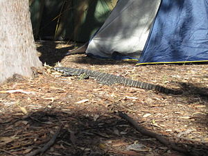 Myall Lakes National Park - Image: Myall lakes.campsite