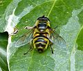 Myathropa florea - Flickr - gailhampshire (2).jpg