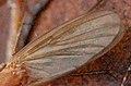 Mycetophila.fungorum.wing.detail.jpg