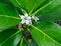 Myoporum wilderi-2.jpg