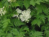Myrrhis odorata, Roomse kervel bloeiwijze